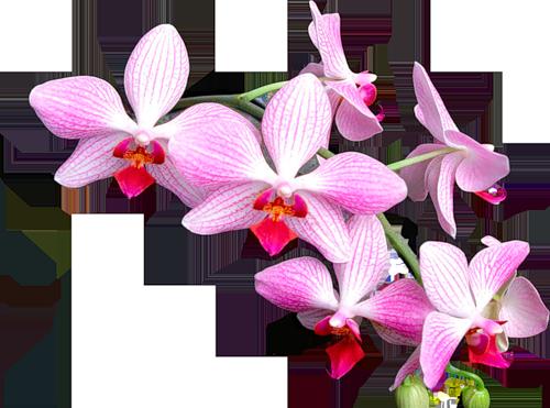 орхидея клипарт: