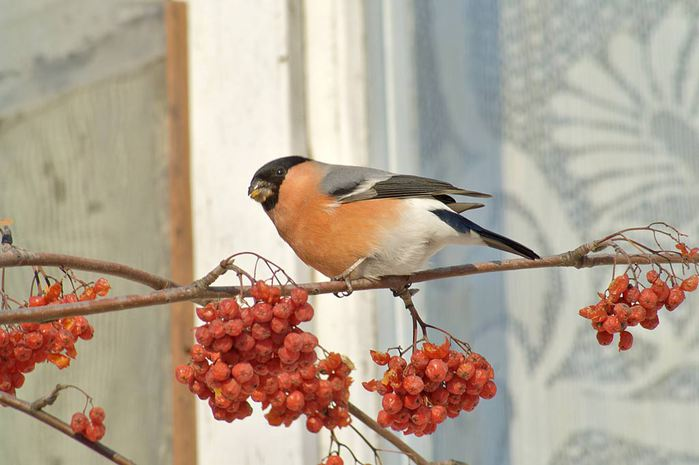 bullfinch_1024 (700x465, 46Kb)