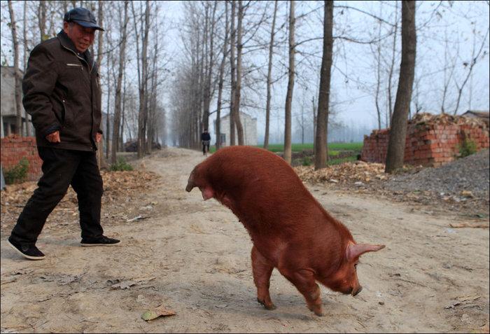 1322500282_2-legs-pig-01 (700x477, 100Kb)