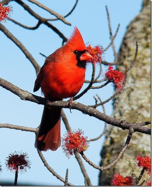 cardinalbird_3 (492x604, 119Kb)