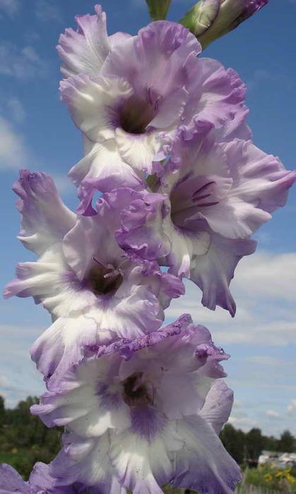 gladiolus_blu_frost 05 (419x700, 75Kb)