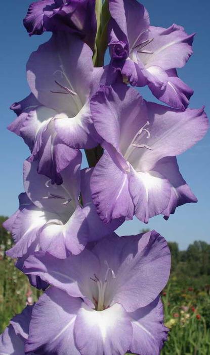 gladiolus_blu_izl 06 (415x700, 83Kb)