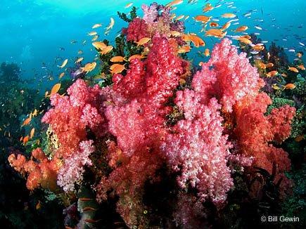corals-770759 (435x326, 63Kb)