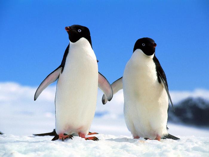 пингвин (700x525, 341Kb)