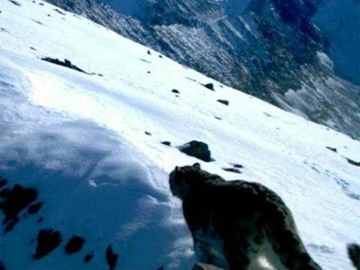 2447247_snow_leopard_2 (520x390, 33Kb)