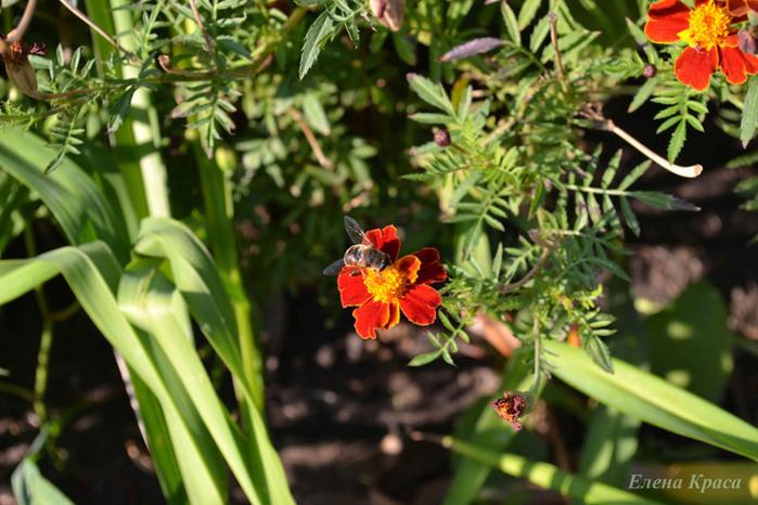 пчела на цветке/4348076_235pchelapp (700x466, 129Kb)