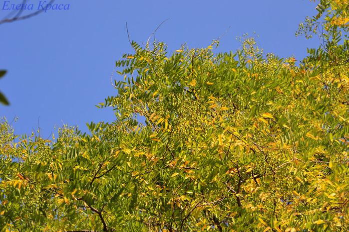 голубое небо и осеннее дерево/4348076_sentfotka020pm (700x466, 236Kb)