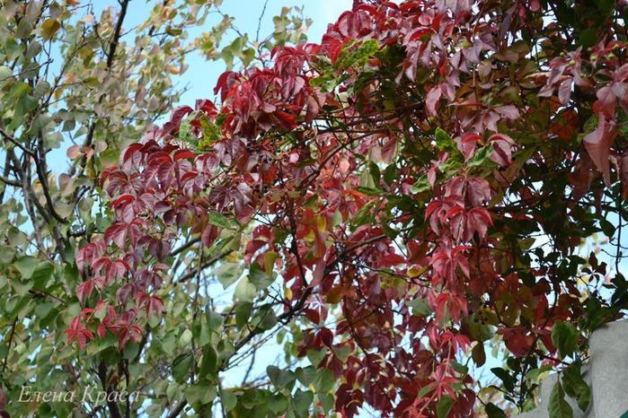 багряные листья/4348076_2011oktyabr366pm (700x466, 242Kb)