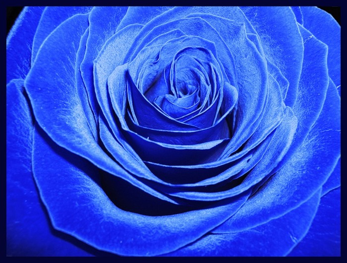 blue_rose_03 (700x531, 124Kb)