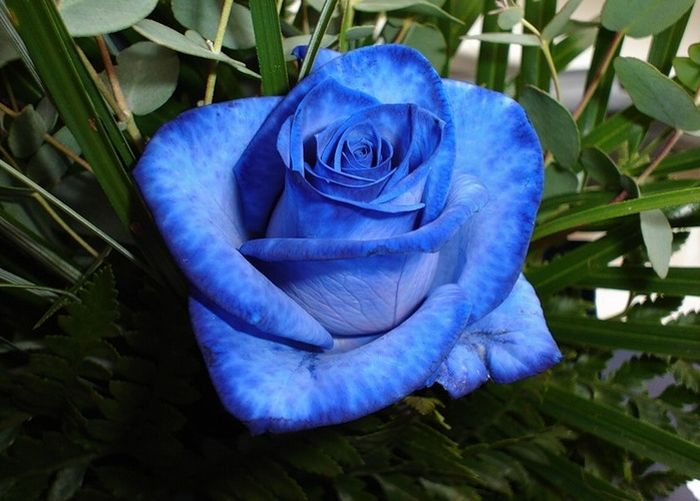 blue_rose_06 (700x501, 59Kb)
