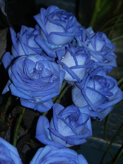 blue_rose_12 (525x700, 50Kb)