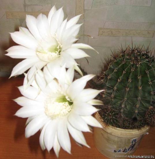 Предприятие ЧП Живые цветы предлагает к продажеВыскочка, детки