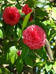 Превью роза (525x700, 300Kb)