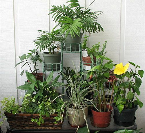 полезные комнатрые растения/1323529119_rasteniya (500x460, 66Kb)