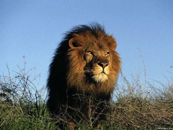 львы (700x525, 140Kb)