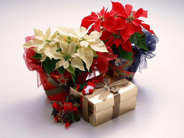 Christmas Flowers (700x525, 122Kb)