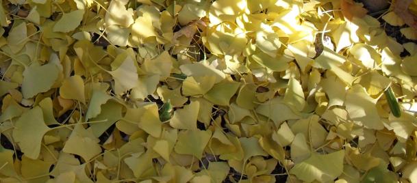 листья гинкго билоба на земле (609x268, 433Kb)