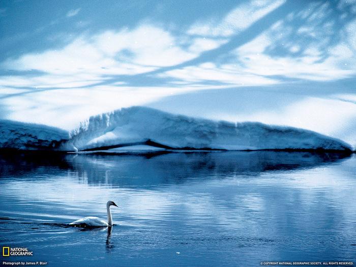 лебедь (700x525, 170Kb)