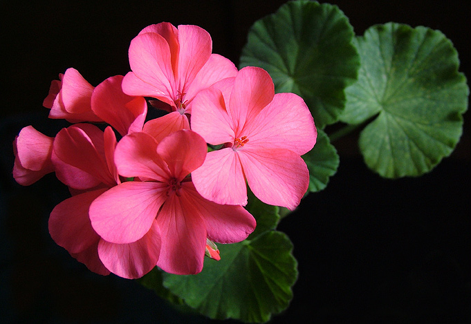 Geranium, nature, flowers.  Photo Geranium by Vacheslav Ilin.
