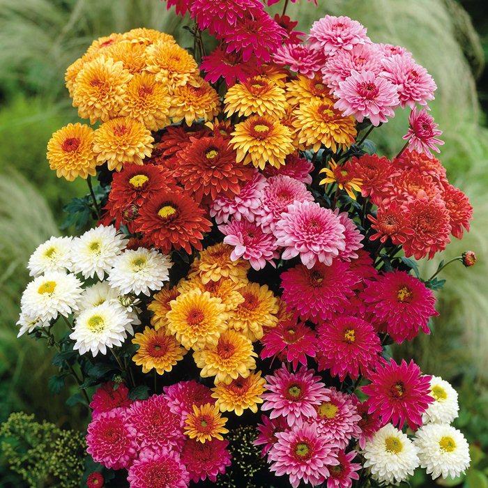 Осінні квіти Фото Назви | BraveDefender