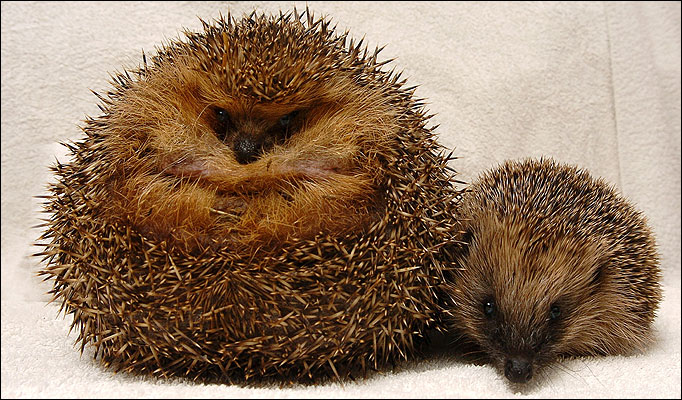 1324329309_large_hedgehog (682x400, 126Kb)