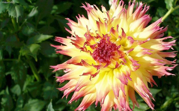Кактусовидные георгины цветы фото