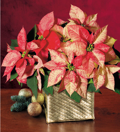 christmas-poinsettia-misc3 (500x550, 300Kb)