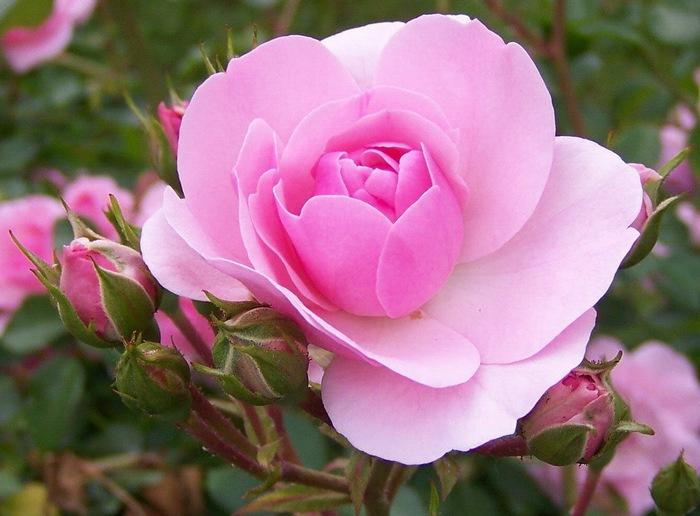rose (700x516, 100Kb)