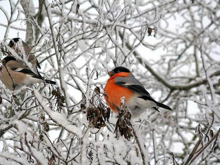 Фотографии снегирей (29 фото)