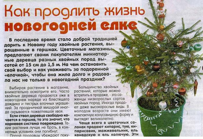 О хвойных растениях,выращенных в горшках 81586968_large_elochkavgorshke