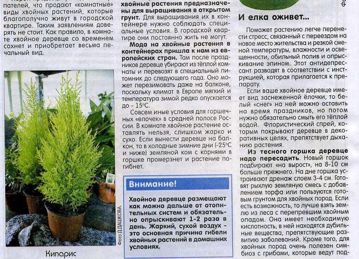 О хвойных растениях,выращенных в горшках 81586970_large_elochkavgorshke1