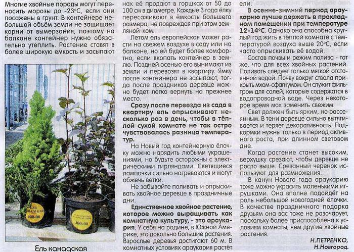 О хвойных растениях,выращенных в горшках 81586974_large_elochkavgorshke3