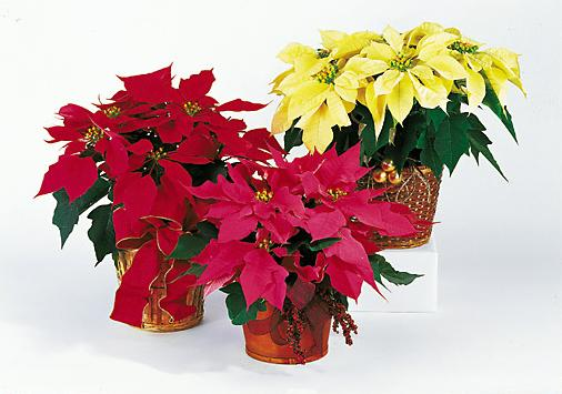 poinsettia1_1 (506x355, 32Kb)