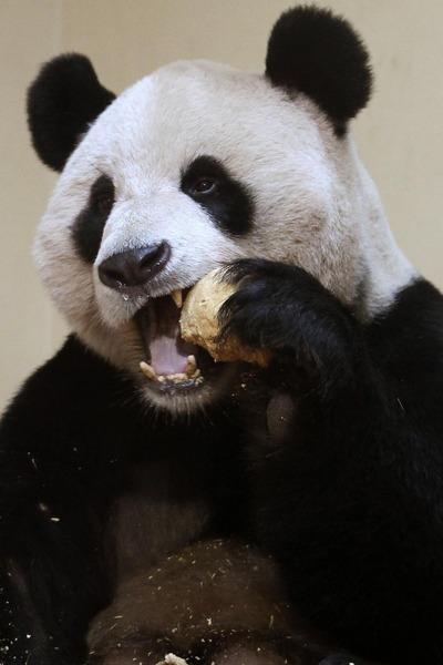 panda sweetie 3 (400x600, 50Kb)