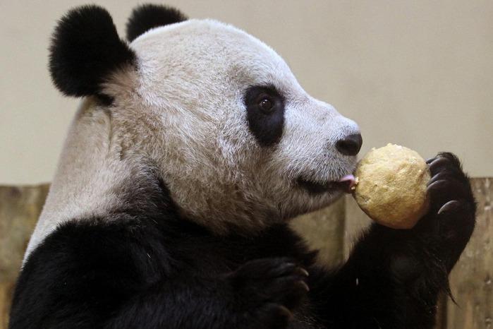 panda sweetie 9 (700x466, 79Kb)