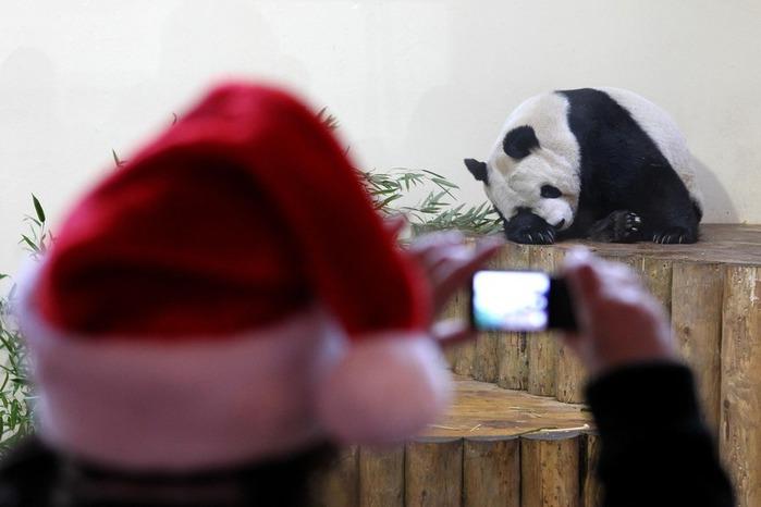 panda sweetie 11 (700x466, 58Kb)