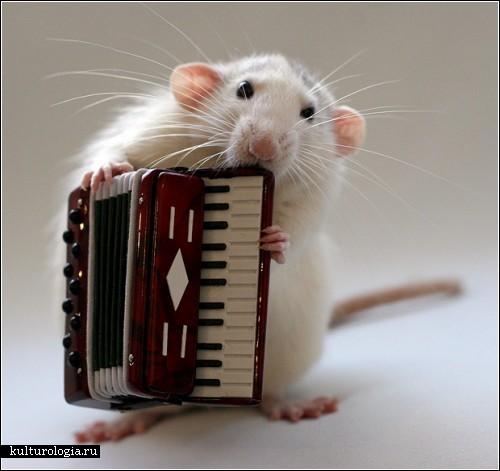3925073_rats_music1 (500x471, 43Kb)