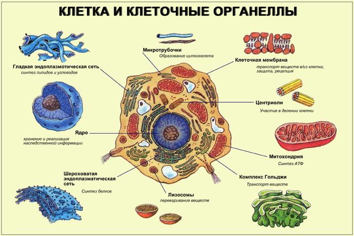 АТФ - в митохондриях клеток.  Особенно много их в