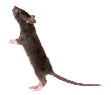 mouse4 (375x320, 49Kb)
