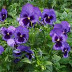 viola-tricolor (150x150, 12Kb)