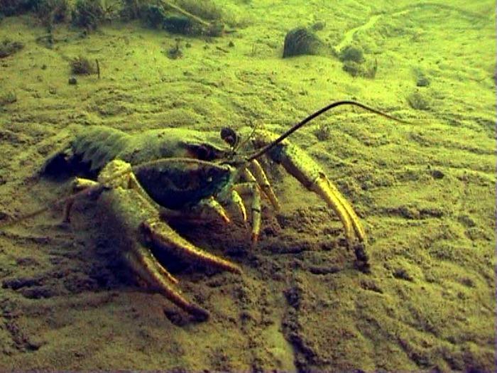 Два рыбака едва не оказались на нарах за незаконный промысел речных раков.