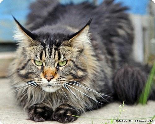 порода кошек мэйкун фото.