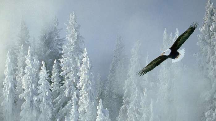 ws_Bald_Eagle_1024x768 (700x393, 92Kb)