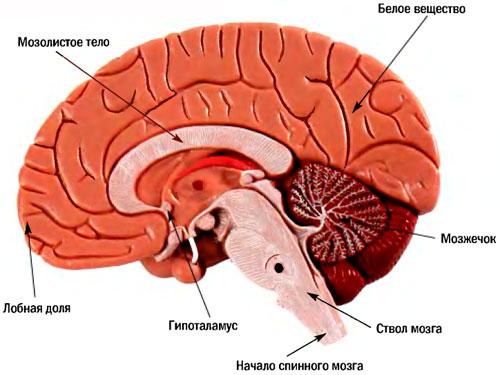 К головному мозгу мы не раз