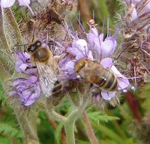 Пчела (310x298, 59Kb)