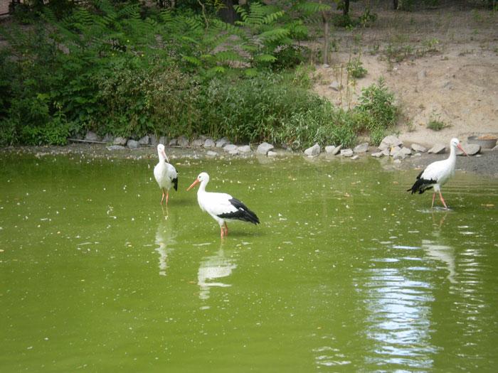 Аисты в Киевском зоопарке, 2009 год(700x525, 100Kb)