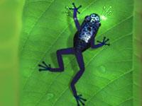 frog-2 (200x150, 7Kb)