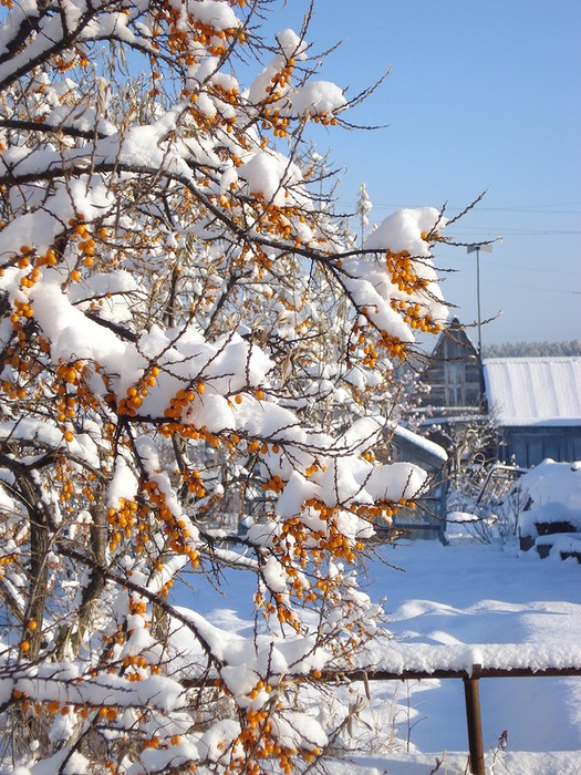 облепиха зимой