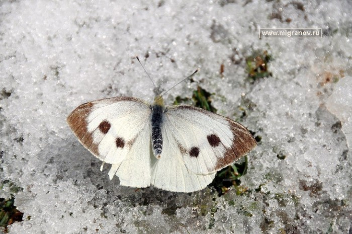1931590_snow (700x465, 102Kb)