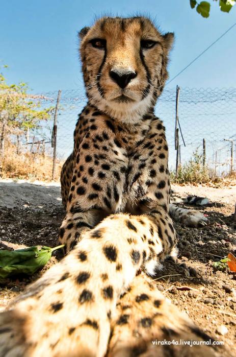гепарды фото